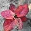 เมล็ดบอนสี ลูกไม้สีชมพู+เพชรมณฑล 100 เมล็ด / Caladium seeds.100 seeds. thumbnail 2