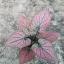 ต้นบอนสี มิ่งมงคล ขนาดกระถาง6นิ้ว thumbnail 1
