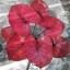 เมล็ดบอนสี ลูกนางเสือดาว+ทับทิมบูรพา 100 เมล็ด / Caladium seeds.100 seeds. thumbnail 3