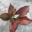 หัวบอนสี วังน้ำคู้ ขนาด 1/2 นิ้วขึ้นไป thumbnail 1
