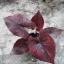 ต้นบอนสี สุรพล ขนาดกระถาง6นิ้ว thumbnail 1