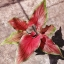 ต้นบอนสี ตะเคียนทอง ขนาดกระถาง6นิ้ว thumbnail 1