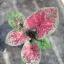 ต้นบอนสี โชคดีทวีลาภ ขนาดกระถาง6นิ้ว thumbnail 1