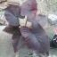 ต้นบอนสี ตะวันชิงพลบ ขนาดกระถาง6นิ้ว thumbnail 2