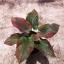 ต้นบอนสี ปานทิพย์ ขนาดกระถาง6นิ้ว thumbnail 1