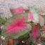 ต้นบอนสี เงาะถอดรูป ขนาดกระถาง6นิ้ว thumbnail 1