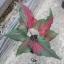 ต้นบอนสี นางรากษส ขนาดกระถาง6นิ้ว thumbnail 1