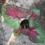 ต้นบอนสี มุกดาหาร ขนาดกระถาง6นิ้ว thumbnail 1