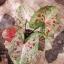 ต้นบอนสี รุ่งสุรีย์ ขนาดกระถาง6นิ้ว thumbnail 2