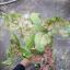 ต้นบอนสี ไก่ตัวงาม ขนาดกระถาง6นิ้ว thumbnail 1