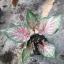 ต้นบอนสี ศรีธนญชัย ขนาดกระถาง6นิ้ว thumbnail 1