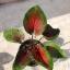 ต้นบอนสี องคุลีมาล ขนาดกระถาง6นิ้ว thumbnail 1