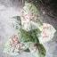 ต้นบอนสี ทับทิมเมืองจันทร์ ขนาดกระถาง6นิ้ว thumbnail 1