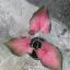 หัวบอนสี แม่กุสุมา ขนาด 1/2 นิ้วขึ้นไป thumbnail 2